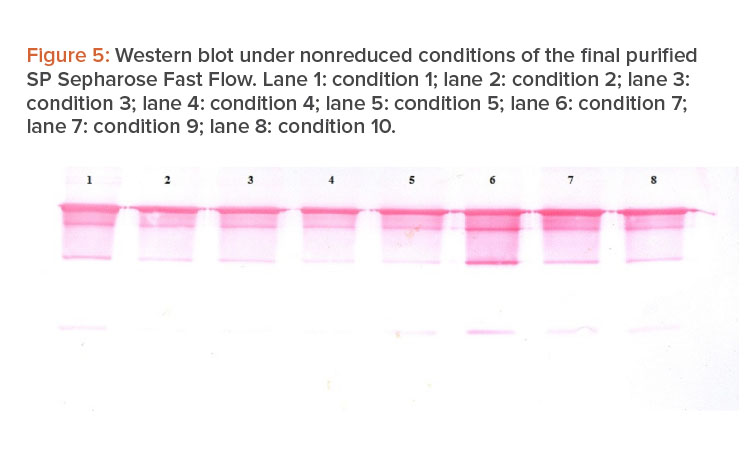Figure 5: Western blot under nonreduced conditions of the fi nal purified SP Sepharose Fast Flow.